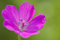 Beautiful geranium Stock Images