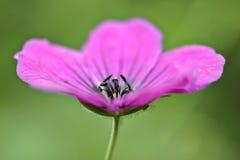 Beautiful geranium Royalty Free Stock Photography