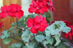 Beautiful geranium flowers. Growing in the park on sunny summer day. Natural floral background stock image