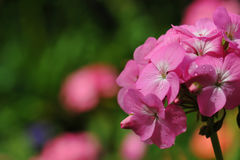 Beautiful geranium flowers. With blur background royalty free stock photos