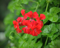 Beautiful geranium flowers. With blur background stock images