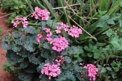 Beautiful geranium flowers royalty free stock photography