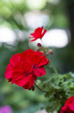 Beautiful geranium flowers. A photo of red geranium flowers in a garden. Selective focus royalty free stock photography