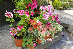 Beautiful geranium flowers in the Sofia Botanical Garden royalty free stock image