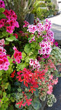 Beautiful geranium  flowers   in the Sofia Botanical Garden Stock Images