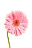 Beautiful gerber Stock Image