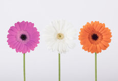 Beautiful Gerber daisies in studio Royalty Free Stock Photography