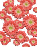 Beautiful Gerber Daisy Blossoms. Falling Beautiful Gerber Daisy Blossoms Stock Image
