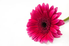 Beautiful gerber flower Stock Photo