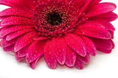 Beautiful gerber flower Royalty Free Stock Photo