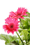Beautiful gerber flowers Royalty Free Stock Photo