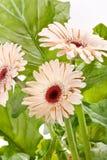 Beautiful gerber flowers Stock Image