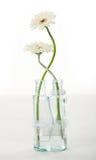 Beautiful gerber in vase Royalty Free Stock Image