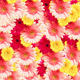 Beautiful gerbera Stock Image