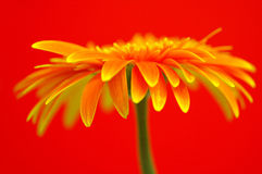 Beautiful Gerbera Stock Photography