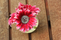 Beautiful gerbera or Barberton daisy Royalty Free Stock Photos