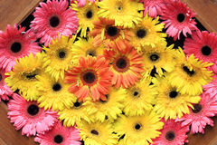 Beautiful gerbera or Barberton daisy Royalty Free Stock Images