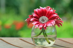 Beautiful gerbera or Barberton daisy Royalty Free Stock Photo