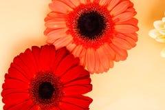 Beautiful gerbera Royalty Free Stock Image
