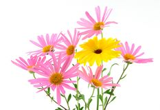 Beautiful gerbera daisies Royalty Free Stock Photography