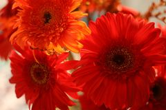 A beautiful Gerbera Daisy blossom stock images