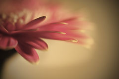 Beautiful gerbera daisy flower macro Stock Image