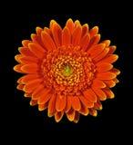Beautiful gerbera daisy flower macro Stock Photos