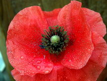 Beautiful poppy flower. On the dark background Royalty Free Stock Photography