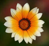 Beautiful gerbera flover. Multicolor gerbera flower on the multicolor background Royalty Free Stock Photo