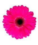 Beautiful gerbera Royalty Free Stock Photo
