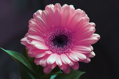 Gerbera Flower in a Closeup Photo royalty free stock photography