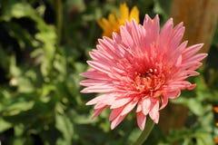 Beautiful gerbera flower in garden at the park Stock Image