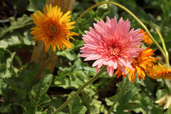 Beautiful gerbera flower in garden at the park Royalty Free Stock Images