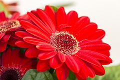 Beautiful gerbera flower with its red petals and its center with red and yellow touches. Wonderful combination of color and texture stock photography