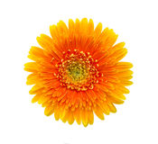 Beautiful gerbera flower. On white background Stock Photos