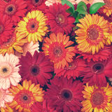 Beautiful Gerbera Flowers Blooming Stock Photo