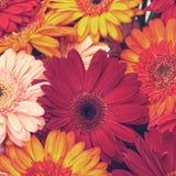 Beautiful Gerbera Flowers Blooming Royalty Free Stock Images