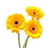 Beautiful gerbera on a white background Royalty Free Stock Images