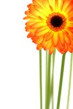 Beautiful Gerberas Stock Photos