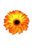 Beautiful Gerberas Royalty Free Stock Image