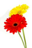 Beautiful Gerberas Royalty Free Stock Photos
