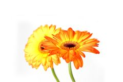 Beautiful Gerberas Royalty Free Stock Photo