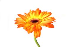 Beautiful gerberas Stock Photo