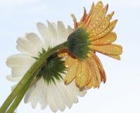 Beautiful gerbers Royalty Free Stock Image