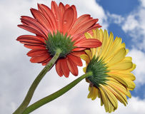 Beautiful gerbers Royalty Free Stock Images