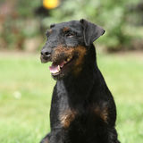 Beautiful German Hunting Terrier in the garden Stock Photo