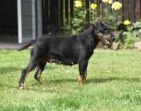 Beautiful German Hunting Terrier in the garden Stock Photos