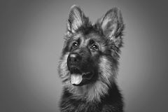 Beautiful german shepard puppy. Beautiful 4 month old german shepard puppy dog on grey background. copy space Royalty Free Stock Photos