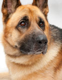 Beautiful German shepherd Stock Photography