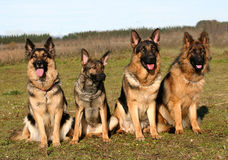 Beautiful german shepherd Royalty Free Stock Photos